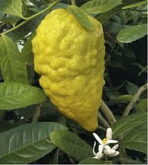 citron citrus medica etrog buy it now
