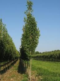 8 best columnar trees images on colour garden