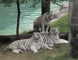 white tiger the animals kingdom