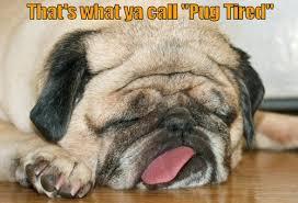 Tired Dog Meme - that s what ya call pug tired