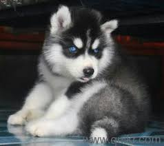 boxer dog quikr siberian husky puppies for sale find a joyful buddy in dogs in
