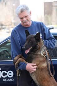 belgian malinois vermont major is a belgian malinois serving in montana policemag com