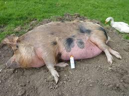 penny pig ribblesdalecheese u0027s blog