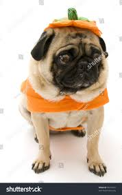 pumpkin costume halloween pug halloween pumpkin costume isolated on stock photo 70210183