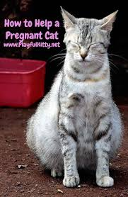 best 25 pregnant cat ideas on pinterest funny fat animals fat