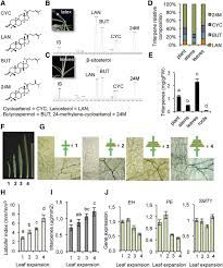 novel insights into the organization of laticifer cells a cell