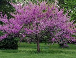 favorites flowering trees bayer advanced