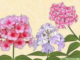 Phlox Flower How To Grow Phlox 13 Steps With Pictures Wikihow