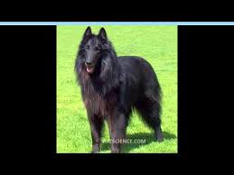 belgian sheepdog groenendael breeder groenendael belgian shepherd dog video learning wizscience