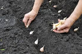 growing garlic in colorado colorado backyard gardener