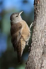 Australasian Treecreeper Wikipedia