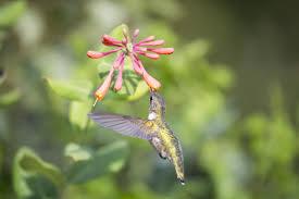 Hummingbird Migration Map Hummingbird Migration Citizen Scientists Track Hummingbird