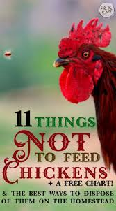 11 things not to feed chickens u0026 the best way to dispose of them