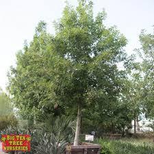 evergreen trees big tex tree nurseries