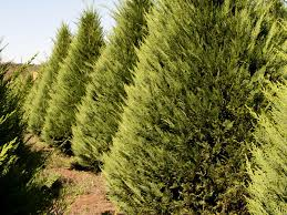 newly planted christmas trees hampered by weather mississippi