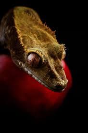 Halloween Crested Gecko Morph by 50 Best Geckos Images On Pinterest Lizards Geckos And Crested