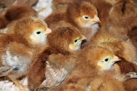 abc newspapers backyard chickens continue to gain popularity