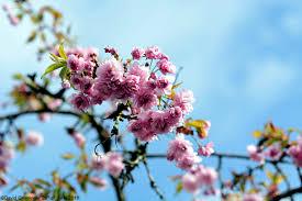 blossom trees cherry blossom tree by davidgrieninger on deviantart