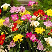 freesia flower freesia flower bulbs american