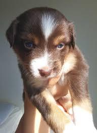 6 week australian shepherd australian shepherd puppies pure bred mini u0027s kevin frazier