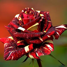 roses china 30pcs abracadabra china seeds diy home garden
