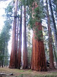 redwood tree science poetry tallest tree