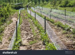 hillside organic green bean mesh trellis stock photo 32505334
