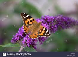 side view of a painted lady butterfly on flowers against blurred