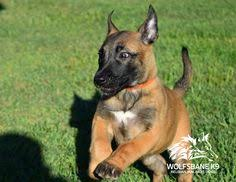 belgian malinois import pup for sale zora is on the way home with her new mom karen wolfsbane k9