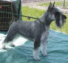 schnauzers hair cuts small 455 420 dogs pinterest schnauzer grooming miniature