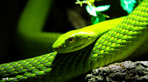 a green snake wallpapers eastern green mamba wallpapers animal hq eastern green mamba