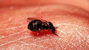 petites mouches cuisine lorraine une mystérieuse mouche à l origine de nombreuses