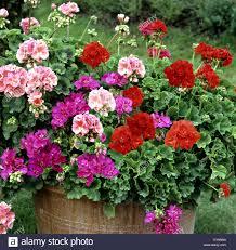 balkon blumen blumenkuebel geranien pelargonium pelargonie balkonblumen