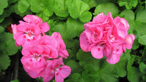 most popular type of geranium plants suitable for landscaping