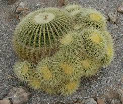 A Golden Barrel Cactus which is many organisms source of water where it is extremely dry