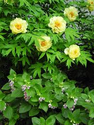 yellow peonies the phytophactor friday fabulous flower yellow tree peony and