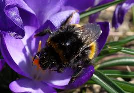 crocuses u2013 early bee food urban bees blog