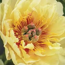 yellow peonies itoh peony garden treasure k bourgondiens
