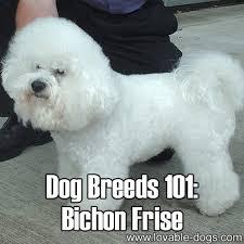 bichon frise intelligence lovable dogs dog breeds 101 bichon frise lovable dogs