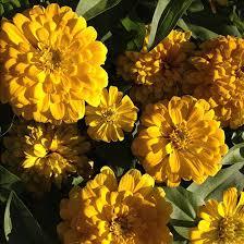 Zinnia Flower Top 15 Most Beautiful Zinnia Flowers