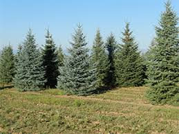 blue spruce trees colorado wholesale blue spruce tree farm spruce point tree farm