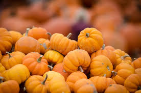 small pumpkins many small pumpkins stock photo image of farm decorate 34396420