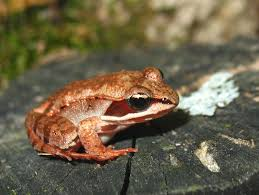 wood frog wood frogs can freeze their bodies for the winter