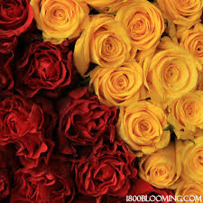 bulk roses bulk roses cardinal gold 1 800 blooming