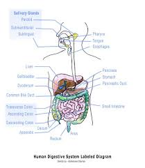 Picture Diagram Of The Human Body The 25 Best Human Digestive System Ideas On Pinterest Get