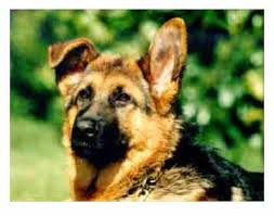 belgian shepherd ears leerburg taping german shepherds ears