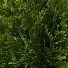 cypress tree ornamental trees trees the home depot