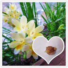 freesia flower freesia bulbs beautiful freesia flower flowers orchids free