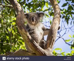 koala bear sitting in a tree in australia stock photo royalty