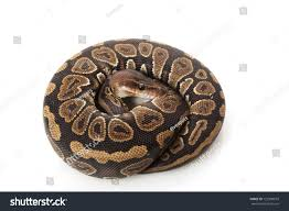 black opal black opal ball python python regius stock photo 125990018